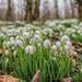 Snowdrops  by rjb71