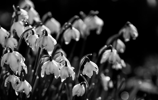 Snowdrops in the sun by inthecloud5