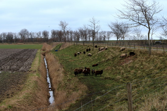 Sheeps, grazing the old small dike. by pyrrhula