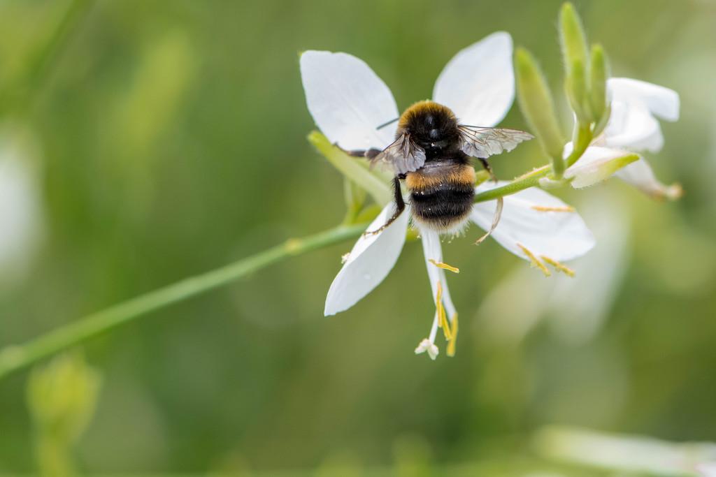 Bumble Bee by yorkshirekiwi