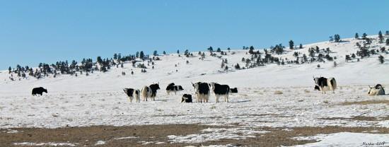 Herd of Yaks by harbie