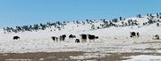 4th Feb 2018 - Herd of Yaks