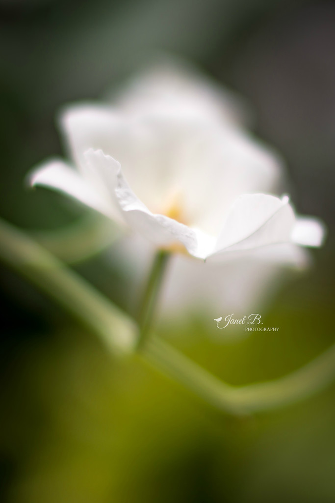 Phipps by janetb