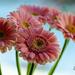 Pink Gerberas by elisasaeter