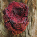 Pink Bloodwood