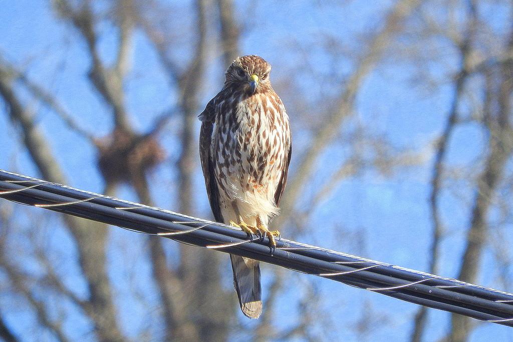 Broadwing Hawk by homeschoolmom