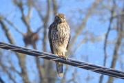 5th Feb 2018 - Broadwing Hawk