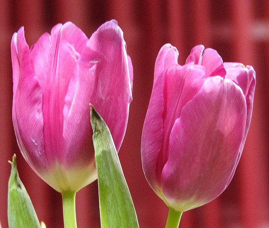 Two tulips! by homeschoolmom
