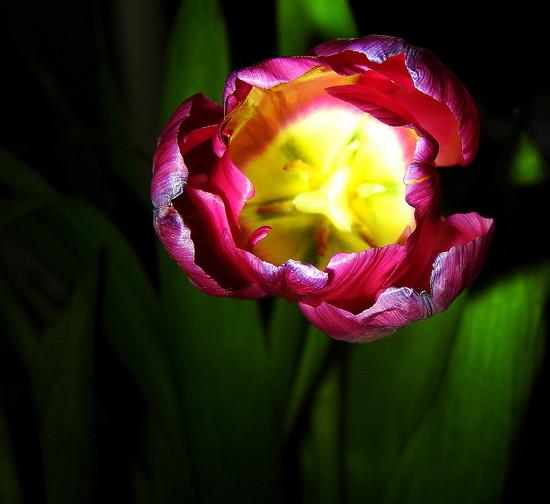 Spotlight on a Tulip by homeschoolmom