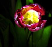 4th Feb 2018 - Spotlight on a Tulip