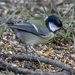 Great Tit No2 by pcoulson