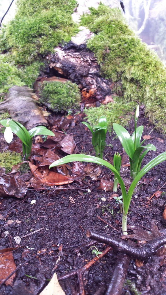 First Snowdrops! by kimmer50