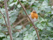 5th Feb 2018 - A Robin On A Branch