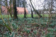 6th Feb 2018 - snowdrops