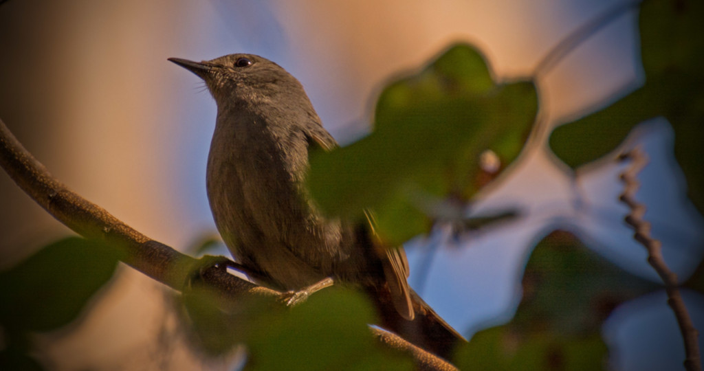 Grey Catbird! by rickster549