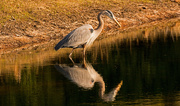 5th Feb 2018 - Blue Heron Waiting to Strike!