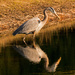 Blue Heron Waiting to Strike! by rickster549