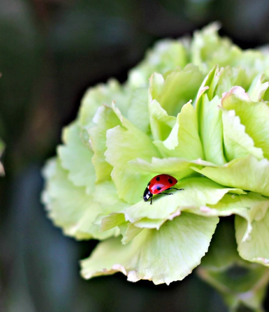 Teeny Tiny Ladybird.  by wendyfrost