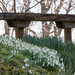 Snowdrops & Bench by dorsethelen
