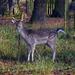 Deer at Dunham by cmp