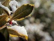 6th Feb 2018 - Snowy Holly Berries
