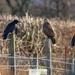 Buzzard and ravens