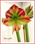 7th Feb 2018 - Amaryllis