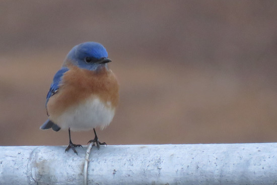 Why Do Bluebirds Look Cranky? by milaniet