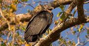6th Feb 2018 - Vulture Taking a Break!