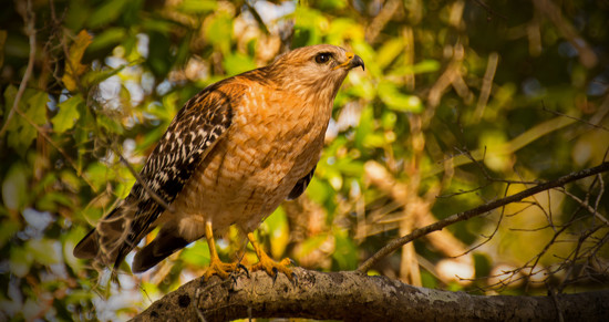 Red Shouldered Hawk, Getting Ready to Fly! by rickster549