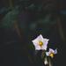 The potato flower by jodies