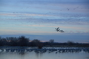 7th Feb 2018 - sandhill cranes starting to move.