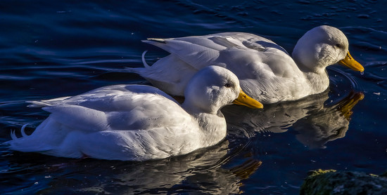 White Ducks by tonygig