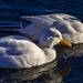 White Ducks by tonygig