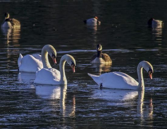 Swans by tonygig