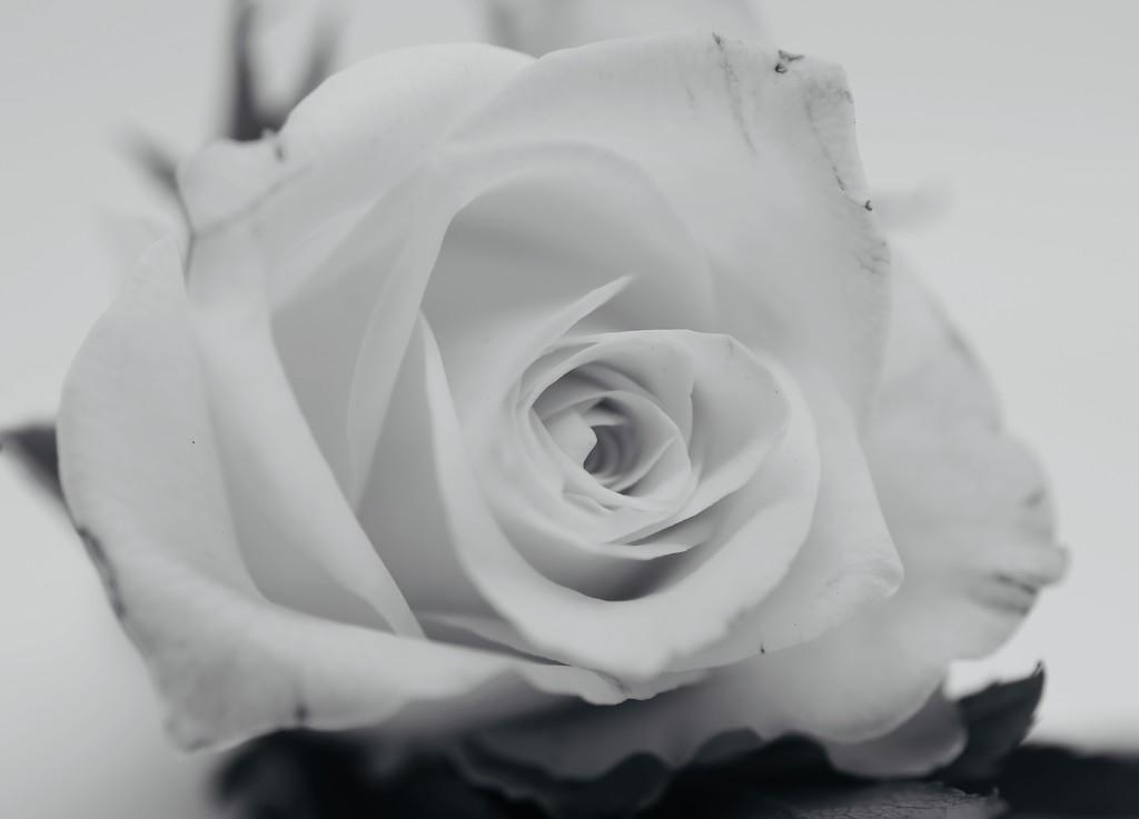 Yorkshire Rose? by phil_sandford