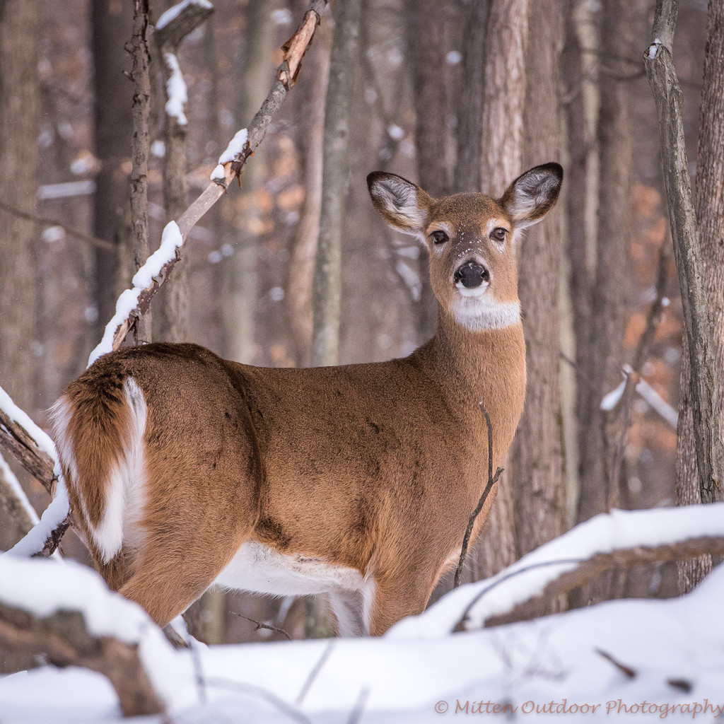 Doe in the Snow by dridsdale