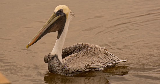 Mr Pelican Waiting on Handouts! by rickster549