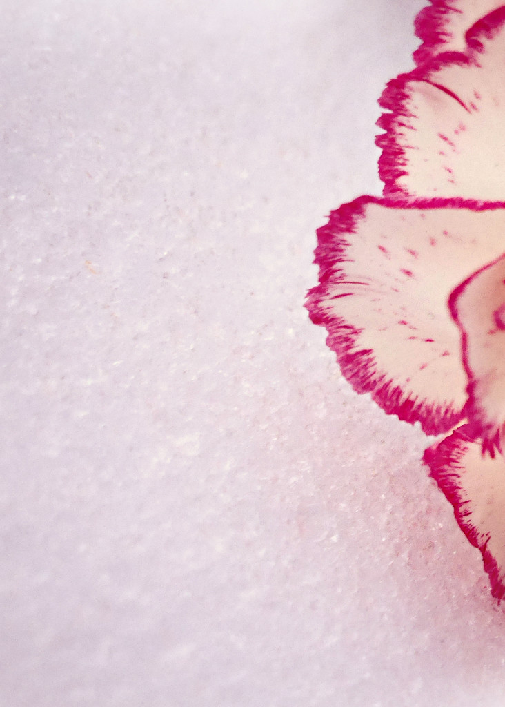 Carnation and Snow by gq