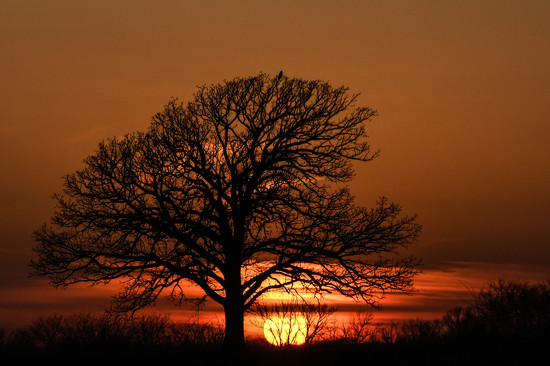 Hawk on a Tree Over a Sunset by kareenking