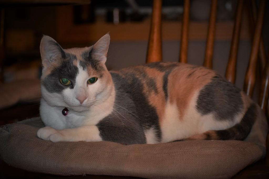 Calico Claire on the Comfy Cushioned Chair by caitnessa