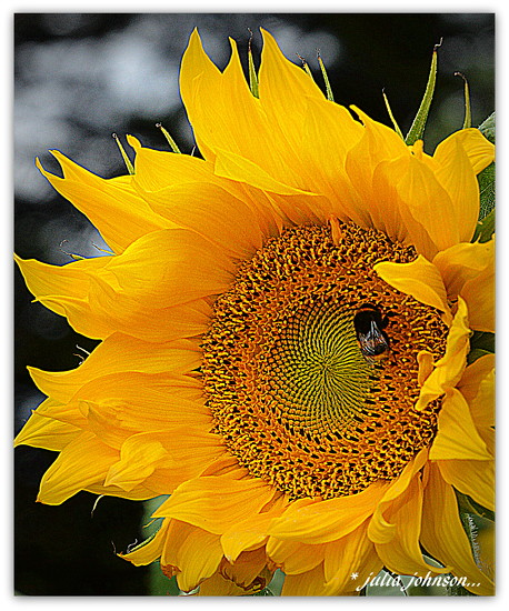 Bumble Bee's and Sunflowers... by julzmaioro