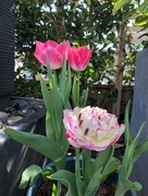 7th Feb 2018 - First Tulips