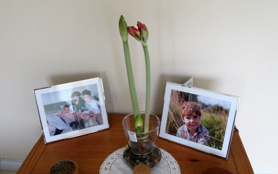 Amaryllis Growing by g3xbm