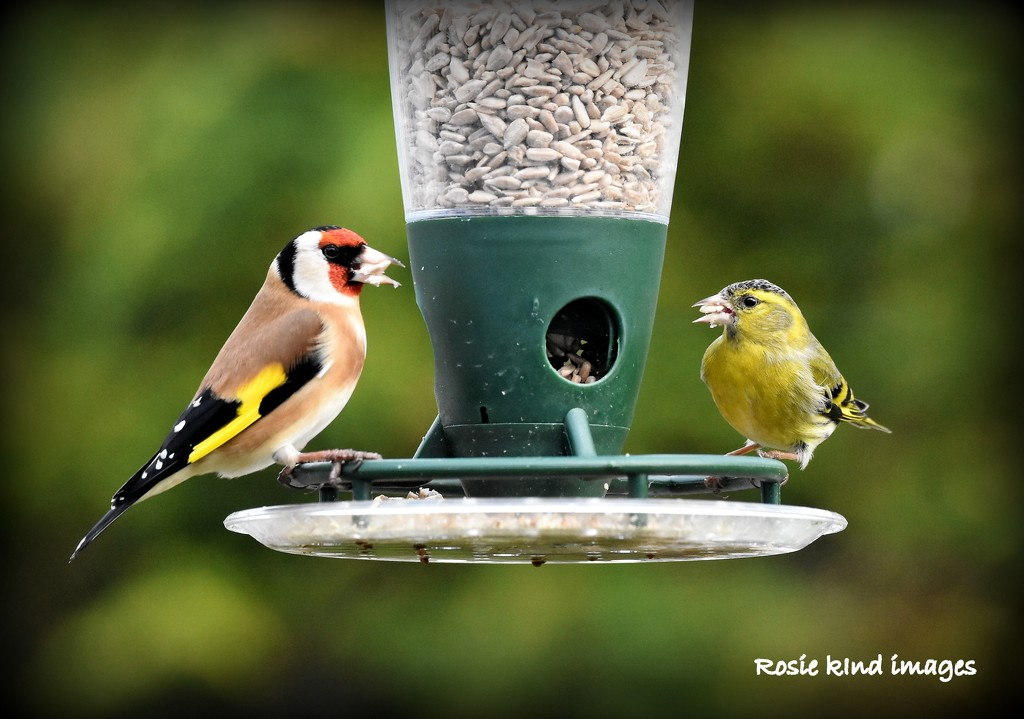 A siskin has joined the goldfinch for lunch by rosiekind