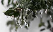 8th Feb 2018 - Icicles on my holly bush