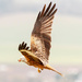 Red Kite with a snack