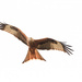Red Kite really close