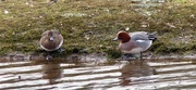 8th Feb 2018 - Mr and Mrs Wigeon