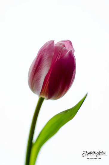Pink tulip by elisasaeter